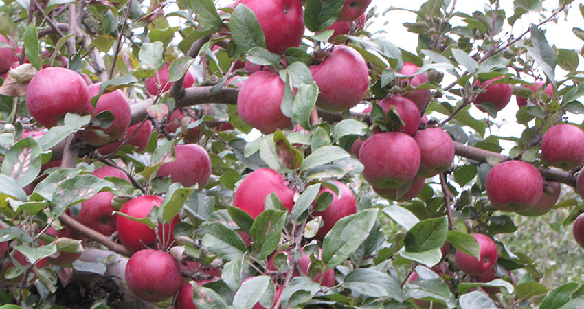 Fruit Trees in New England