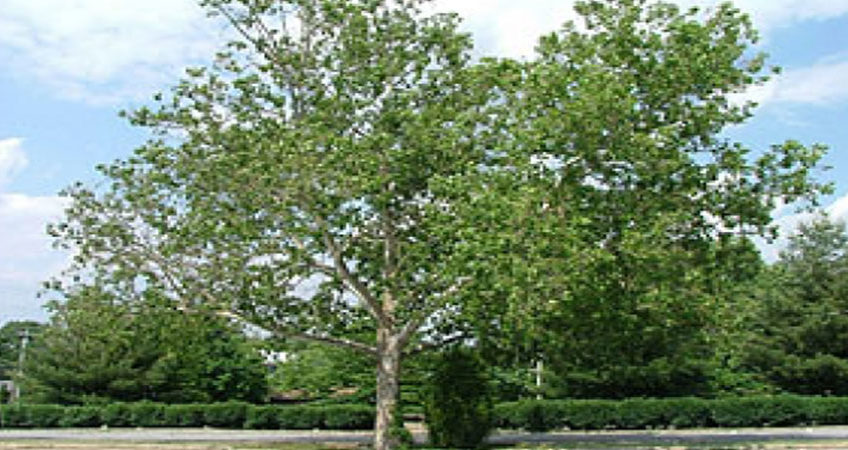 Top 3 New England Trees